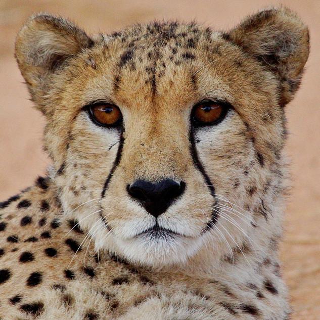 DSC07869 AfriCat Cheetahs 2a.jpg