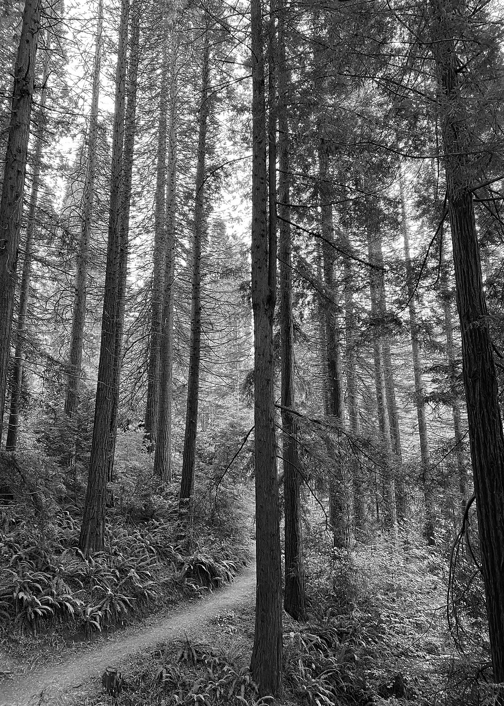 Black and white photo of redwood trees in Oregon.