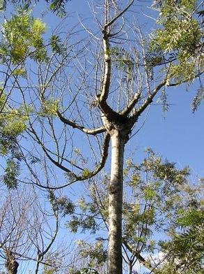 コーヒーの木用シェードツリー