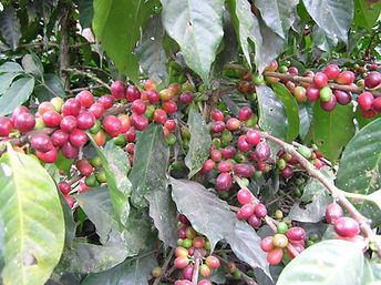 コーヒー グアテマラ アンティグア