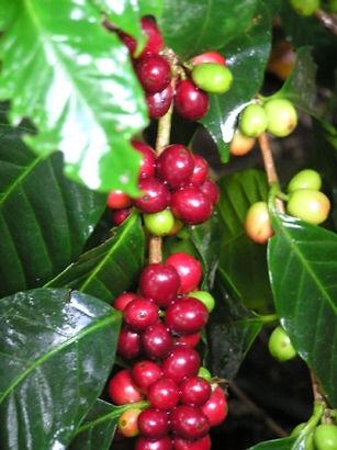 コーヒーの赤い実