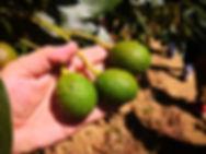 アボガド グアテマラ
