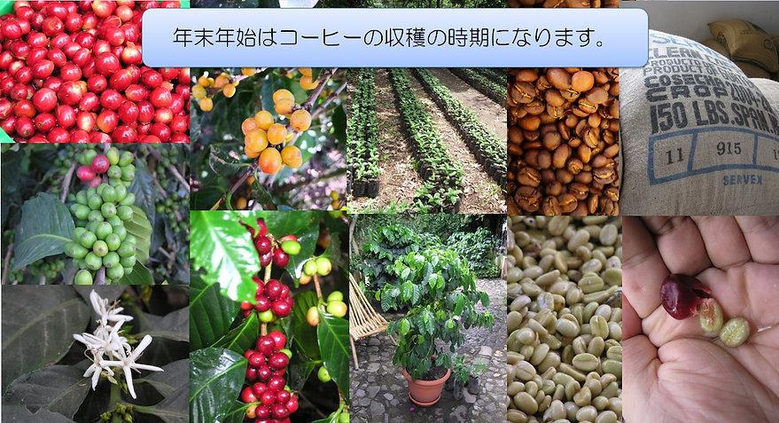 グアテマラのコーヒー豆