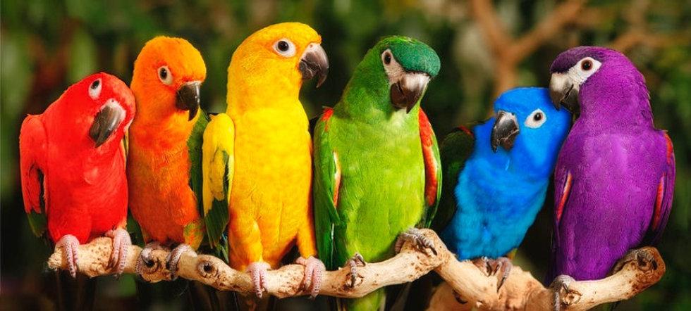 rainbow-parrots-mike-jones-photo_edited.jpg