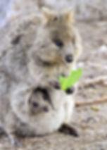 quokka and baby.jpg