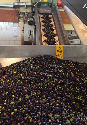 100% Olivenöl Qualität aus der Taggiasca Olive- in Kaltpressung schonend hergestellt mit mechanischen Verfahren