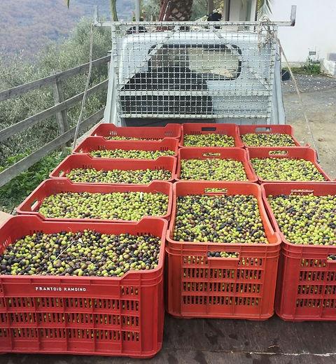 Die Ernte der Taggiasca Olive- in aufwendiger Handarbeit verwertet