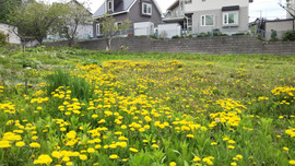 Dandelion flower field/蒲公英花田/タンポポの花畑
