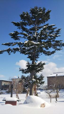 Otaro Village's simbol tree/小樽村的辛博尔树/オタロビレッジのシンボルツリー