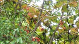 Wild grapes/山葡萄/山ぶどう