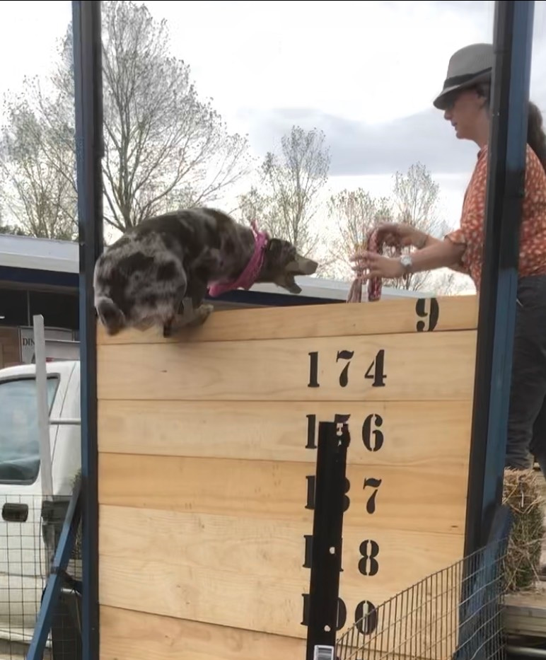 Blayney show dog high jump