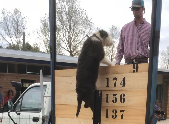 Blayney show dog high jump