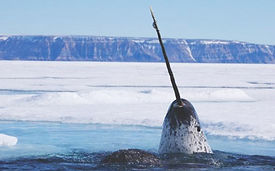 large-narwhal-photo.jpg