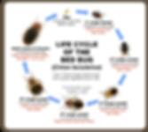bedbug-lifecycle.png