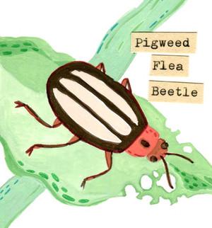 Pigweed Flea Beetle from Bitty Book of Beetles Zine