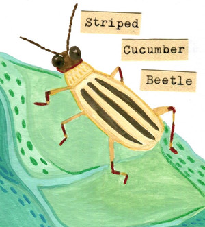 Striped Cucumber Beetle from The Bitty Book of Beetles Zine