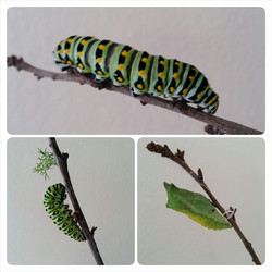 Instagram - My Swallowtail caterpillars have gone into chrysalis, very different