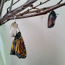 Instagram - We have 11 butterflies that will emerge today, 5 have already come o