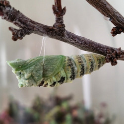 Instagram - A swallowtail caterpillar going into chrysalis. Look at the little t