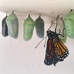 Instagram - A freshly emerged monarch butterfly, happy Earth Day everyone! #cate