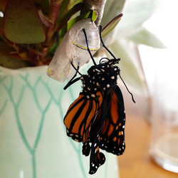 Instagram - We had a super late monarch emerge from chrysalis a few minutes ago.