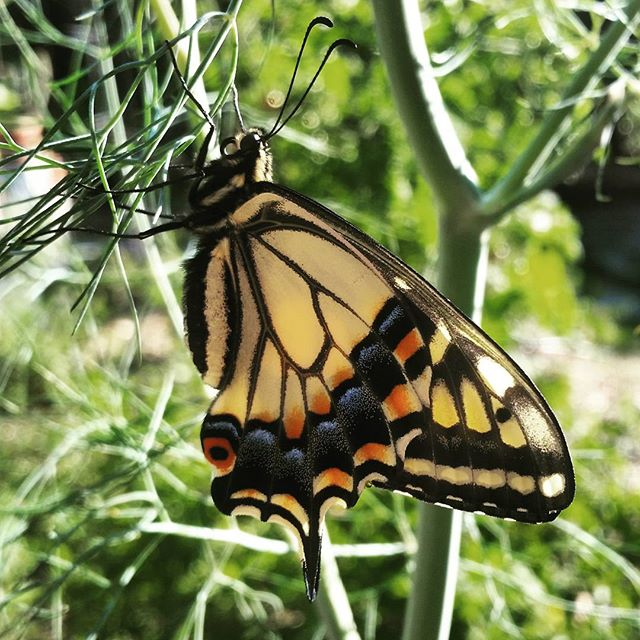 Instagram - I released my first Swallowtail butterfly of the summer this morning