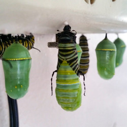 Instagram - A pupating caterpillar shedding its skin and going into chrysalis.jp