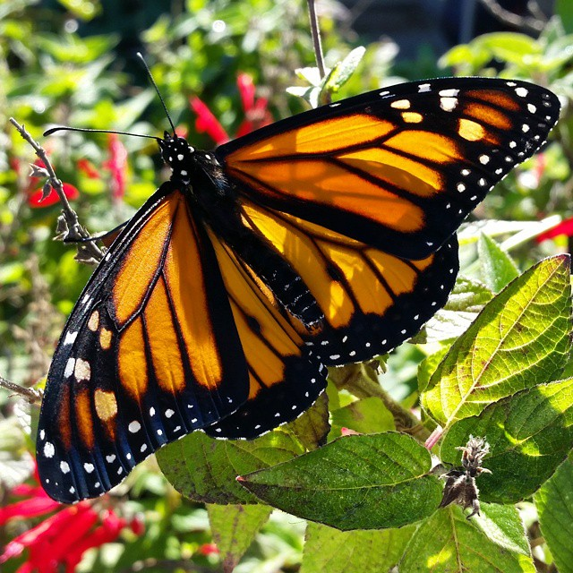 Instagram - Another monarch fluttering off into the world.jpg