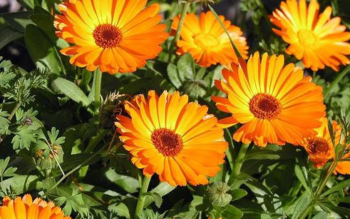 Calendula-Flower-Essence-1280x800.jpg