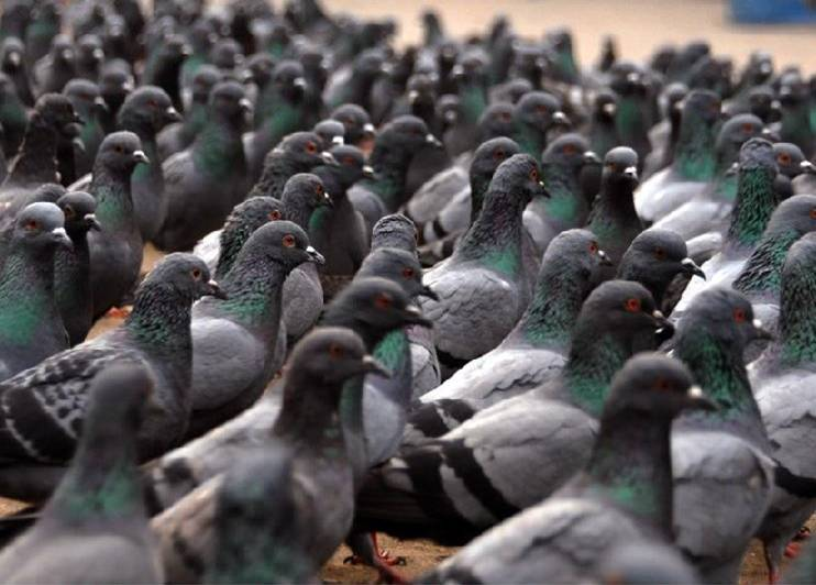 Pigeons on your roof