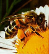 Honey bee live removal