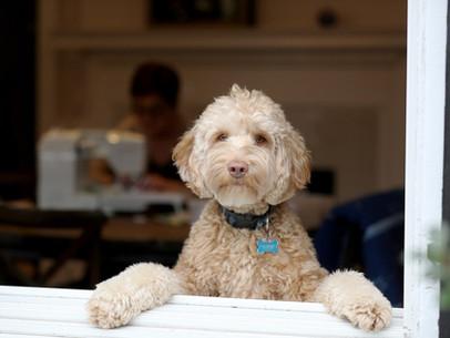 Cão Carioca no G1 - Cachorros na quarentena: falta de atividade pode deixar pets ansiosos