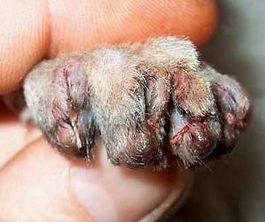 Онихэктомия - боль и ужас для кошки!