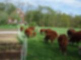Cows%20at%20Four%20Winds%20Farm_edited.p