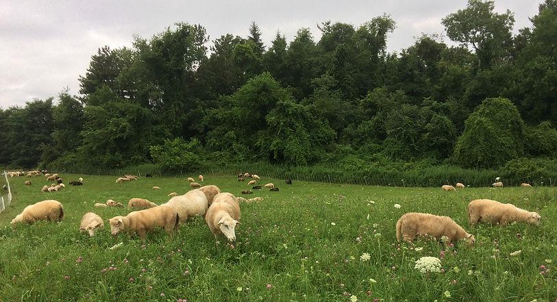 flock on middle field west 7-16-19.jpg