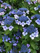 紫陽花①.jpg