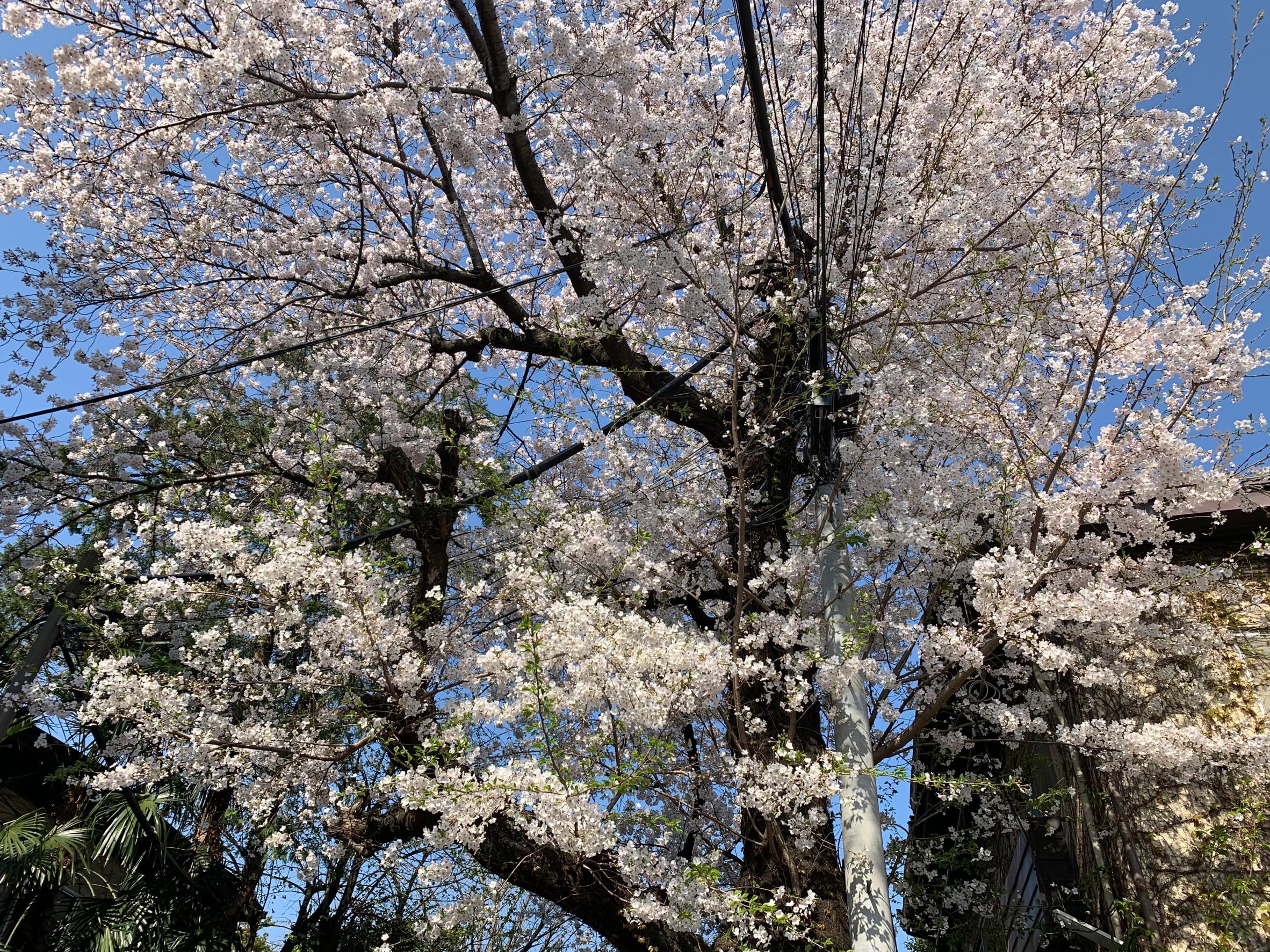 さつき会 桜