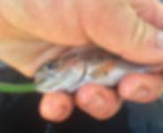 steelhead rainbow trout diet study