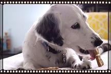 dog eating healthy dog treat, Dog Dominos