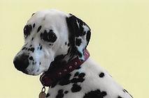 big dog collar bling