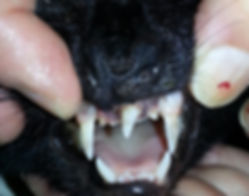 cat, teeth, photo, black cat,