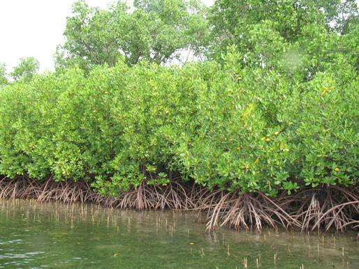 Mangrove kayaking experience
