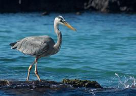 Heron, Galapagos