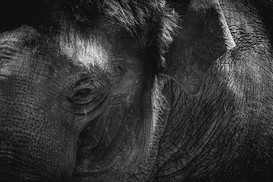 Behind Bars - Elephant - Melbourne Zoo