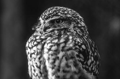 Little Owl - Dartmoor Zoo