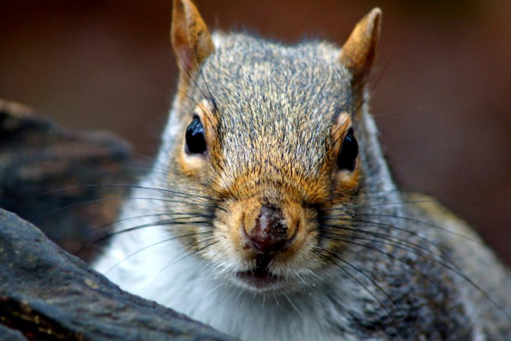 Squirrel-Falmouth