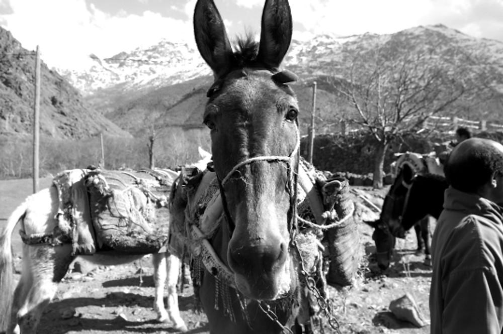 mule in morocco