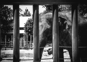 Behind Bars - Elephant