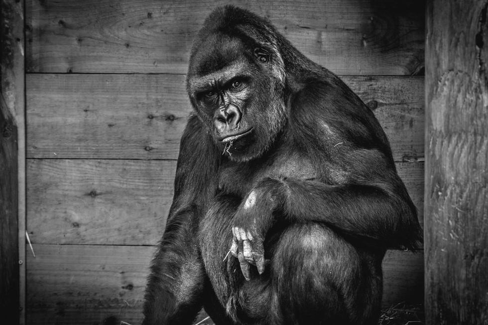 Behind Bars - Jock, Bristol Zoo