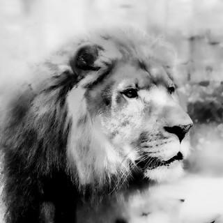Lion #5